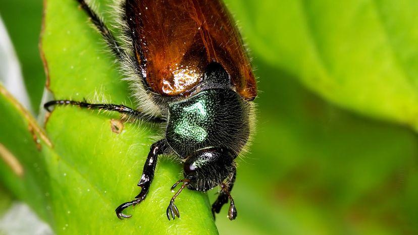 Japanese bugs