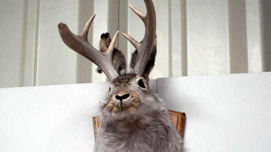 Are Jackalopes Really Roaming the State of Wyoming?