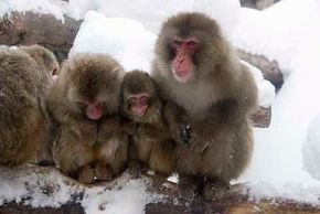 Japanese monkeys inhabit all of the Japanese islands except for Hokkaido. See more pictures of monkeys.