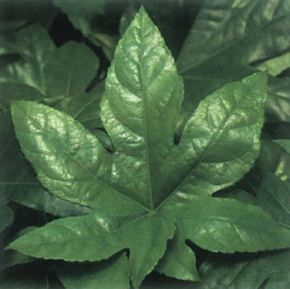 Japanese aralia's foliage can be either all green or variegated with yellow or white. See more pictures of house plants.