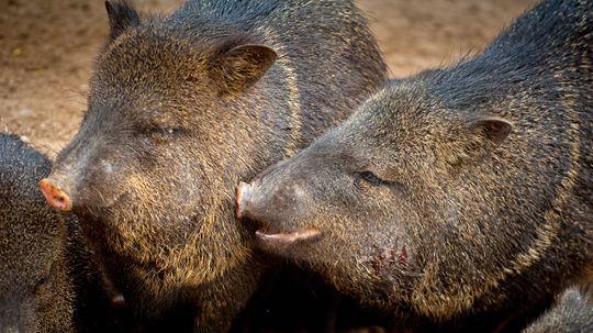 Is It a Pig? A Hog? No, It's a Javelina