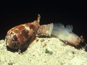 A cone snail swallows a fish that it caught with the help of its paralyzing venom.