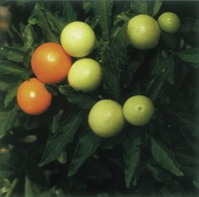 Jerusalem cherry grows outdoors in summer and plant throughout the year. See more pictures of house plants.