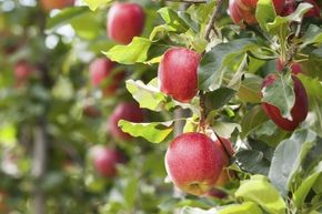 Did Johnny Appleseed live up to his name? Of course, he was an orchardist, but did he really travel around a large chuck of America?