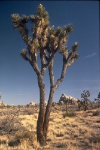 """National Parks Image Gallery Although imposing, the Joshua tree is no beauty. """"One can scarcely find a term of ugliness that is not apt for this plant,"""" said writer J. Smeaton Chase. See pictures of national parks."""