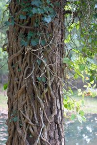 Kudzu quickly slithers around this tree to put it in a deadly choke hold.