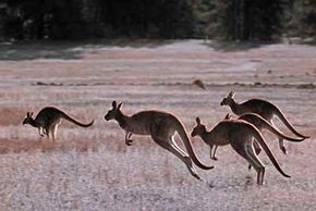 Kangaroos hopping across an open expanse