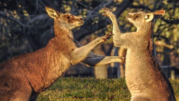Do Kangaroos Really Box?