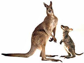 Mama and baby kangaroo