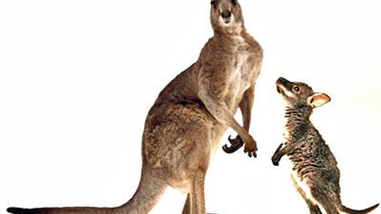 What's the difference between a wallaby and a kangaroo?