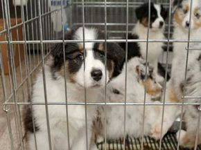 Kennel cough spreads quickly among dogs living in close quarters. See more dog pictures.