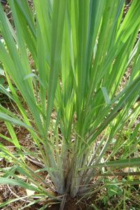 Citronella grass and lemongrass (shown) are closely related and often confused for one another. They do share the commonality of being ineffective at keeping mosquitoes away from humans, however.