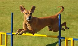 Navigating the agility course increases a dog's self confidence and provides a good opportunity for your child to bond with their four-legged pet.