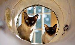 Some cats will take to an obstacle course immediately -- others might need some convincing.