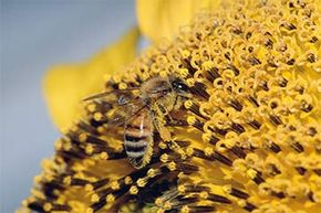 A honeybee collects pollen from a sunflower. Why do bees do all this work for the hive when they won't have the chance to mate themselves? Kin selection has been advanced as the reason.