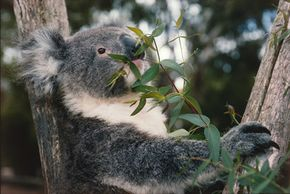 Koalas spend most of their time taking it easy. See more pictures of marsupials.