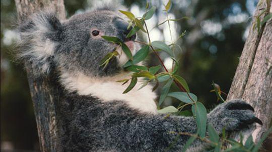 Do koalas smell like cough drops?
