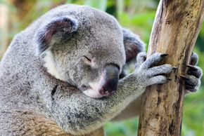 When koalas aren't eating eucalyptus leaves, they're probably napping.