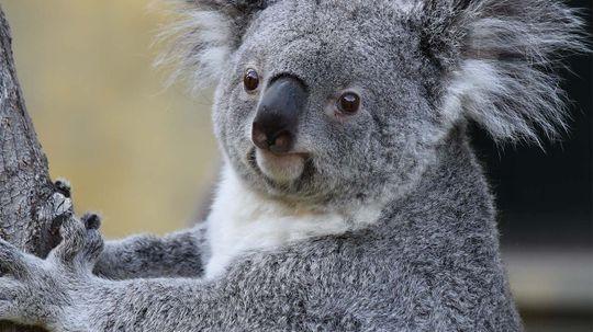 Deadly Chlamydia Threatens Koalas Down Under