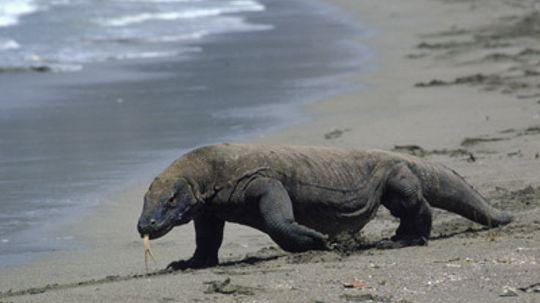 Are Komodo dragons' mouths deadlier than cobras' venom?