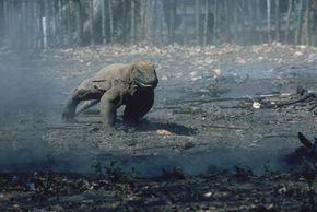 A Komodo dragon runs on Komodo Island, Indonesia.