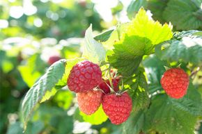 Berries are one of the easiest foods to forage, and are often in accessible areas like parks and wooded trails