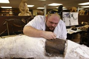 Assistant lab supervisor Trevor Valle works on Zed, removing a plaster cast from one of his tusks.