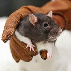 Lab rats have been bred to be extremely similar genetically, which means that they're also predisposed to the same genetic susceptibilities -- like cancer.
