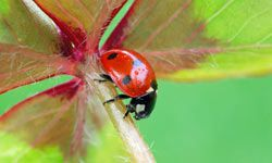This ladybird isn't flying away home. See more pictures of insects.