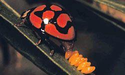 The start of a ladybug life cycle