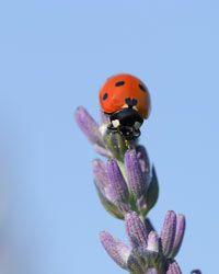 A seven-spotted ladybug enjoys Provencal lavender.