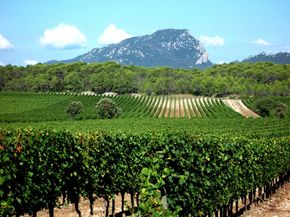 The chalky, dry soil of this vineyard in Languedoc, France is ideal for cultivating grapes. See our collection of wine pictures. ­
