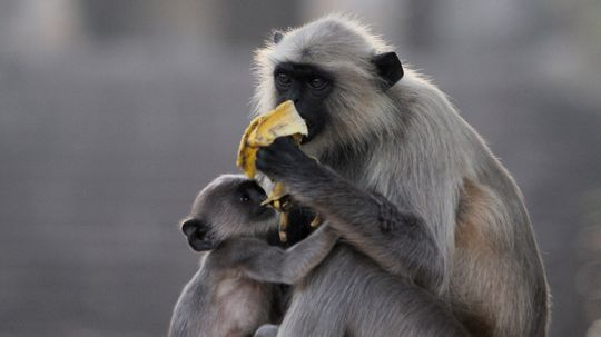Langurs Are Primates That Love to Monkey Around