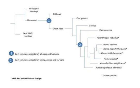 ape and human evolution chart