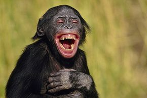 When this juvenile bonobo expresses joy, is that the same thing as laughing?