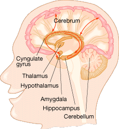 Structures in the brain's limbic system, which controls many essential human behaviors, also contribute to the production of laughter.