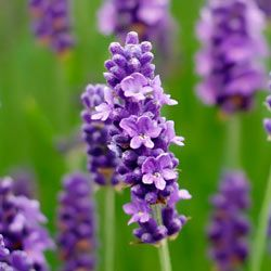 With its lovely purple flowers and fragrant scent, Lavender is an ideal addition to any garden.