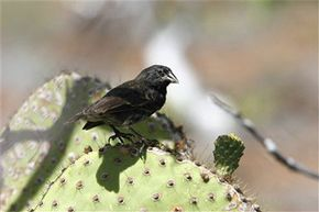 Does that medium ground finch on the Galapagos Islands have any idea of the scientific stirrings he and his bird brethren caused? See more pictures of birds.