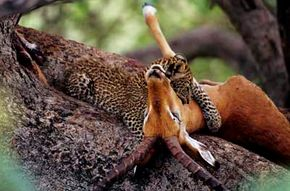 Leopards may drag their prey 50 feet (15 meters) up a tree to protect it from large scavengers like lions.