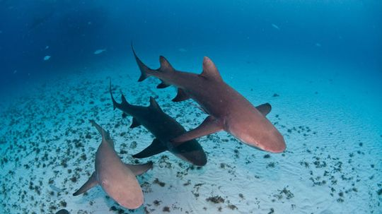 Will a Shark Drown if It Stops Moving?