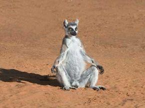 A ringtailed lemur suns itself