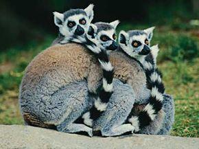 Three captivelemurs get cozy.