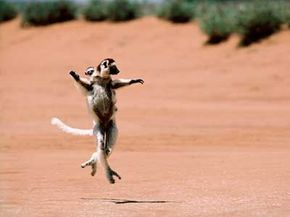 The lemur doesn't exactly walk.Its gait looks more like ballet.