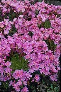 Lewisia is a flowering plant that needs full sun and deep soil that drains well.