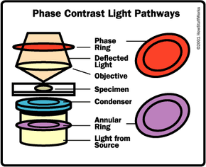 Light path of a phase-contrast microscope