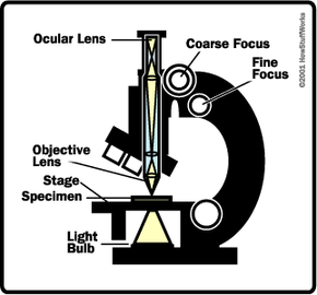 Diagram of a typical student light microscope, showing the parts and the light path