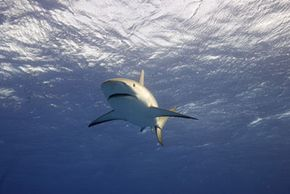 """A reef shark in Nassau, Bahamas, during the filming of Discovery Channel's """"MythBusters."""" See more shark pictures."""