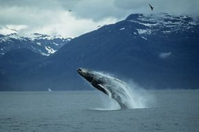 A humpback whale, one of the larger examples of Earth's biodiversity, breaches. See more pictures of marine mammals.