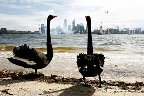 Black swans, before their discovery in the late 1600s, were widely considered a scientific impossibility by Western minds.