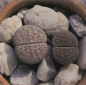 Living stones really do look like the rocks among which they like to grow. See more pictures of house plants.